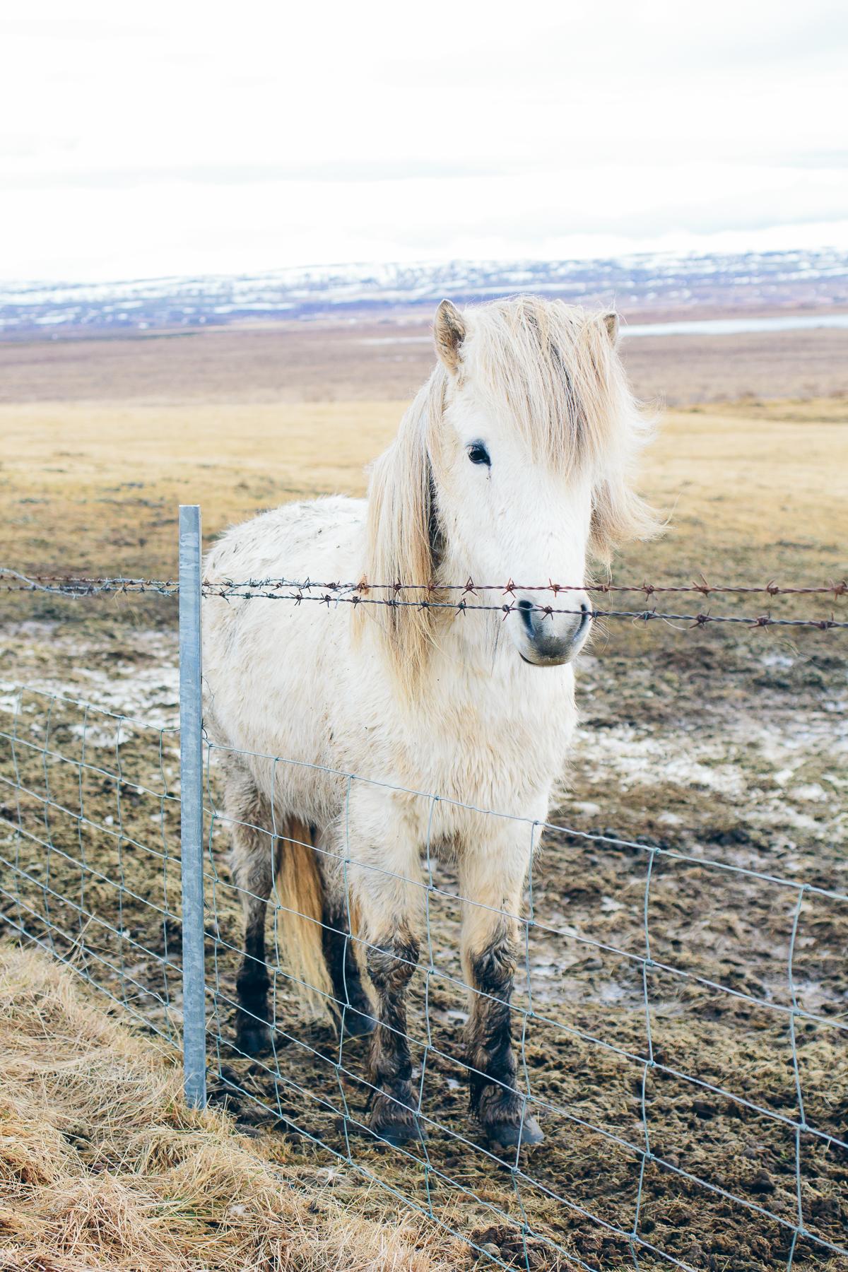white horse, icelandic pony, Iceland travel guide —via @TheFoxandShe